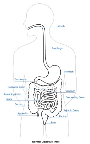 digestive tract